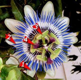 passion-flower-4-parts1