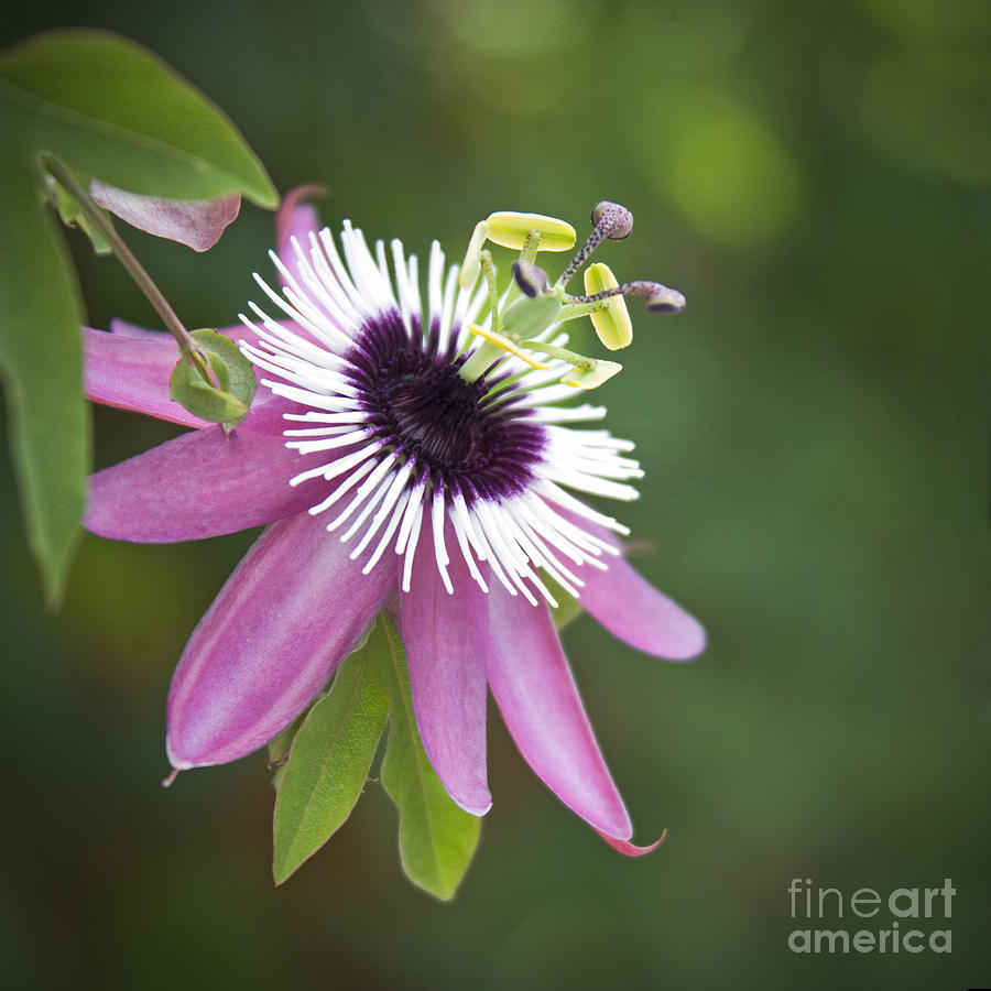 pink-passion-flower-glennis-siverson